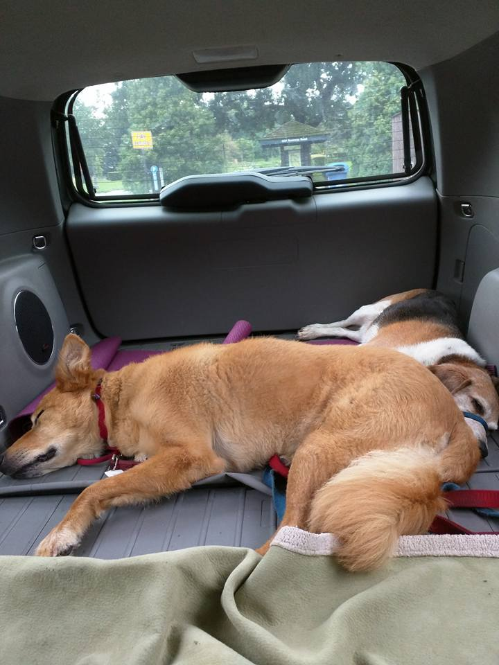 Dogs Sleeping in Hatchback After Lyndale Park