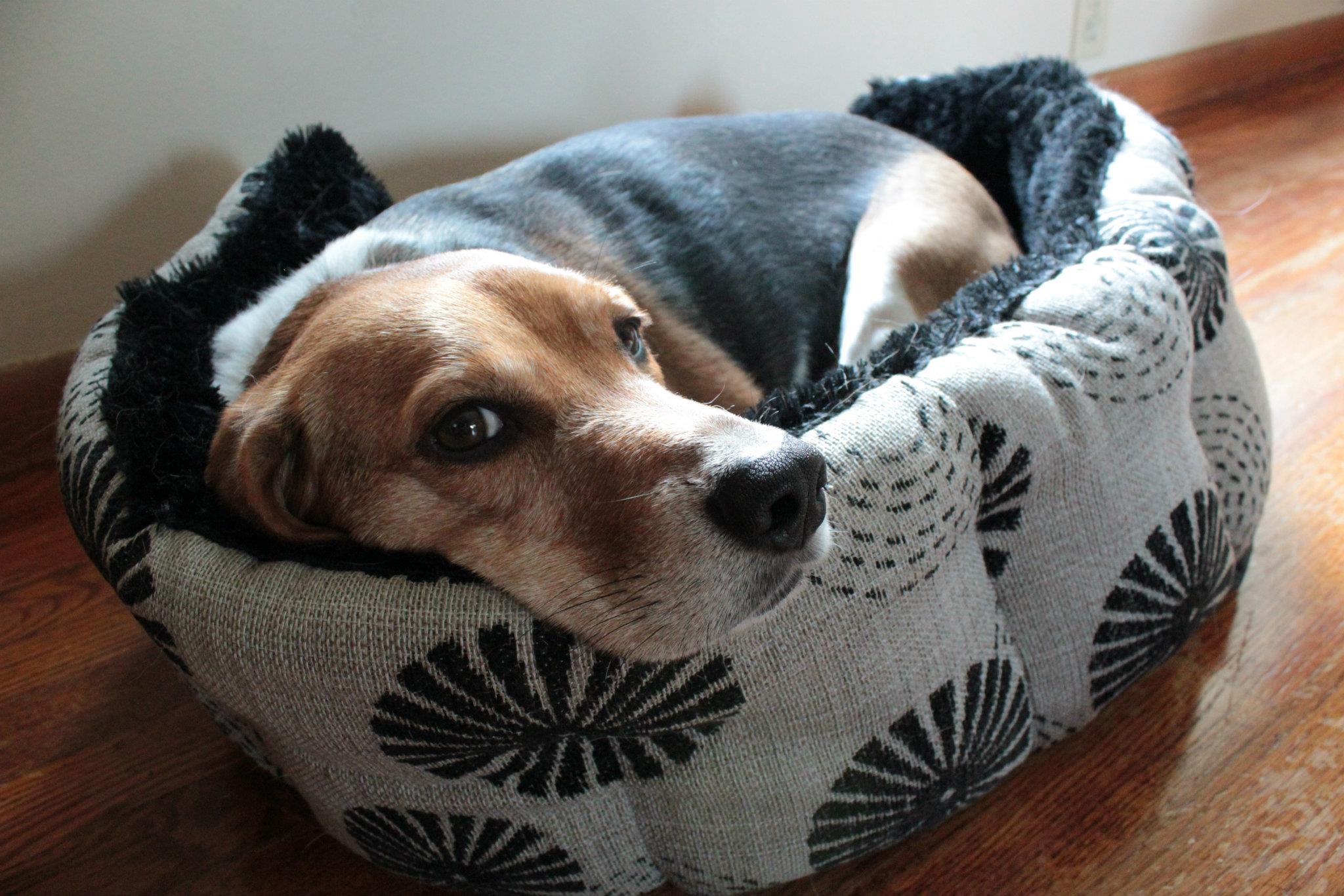 Ford the Beagle Asleep in a Dog Bed