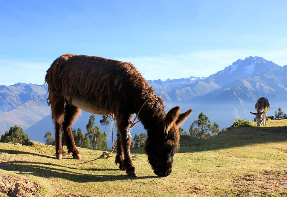 Donkey Grazing En Route from Cusco to Machu Picchu in Peru