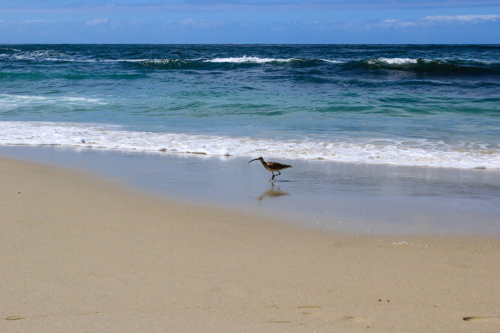 Bird Chasing Waves & Critters at La Jolla Beach in San Diego