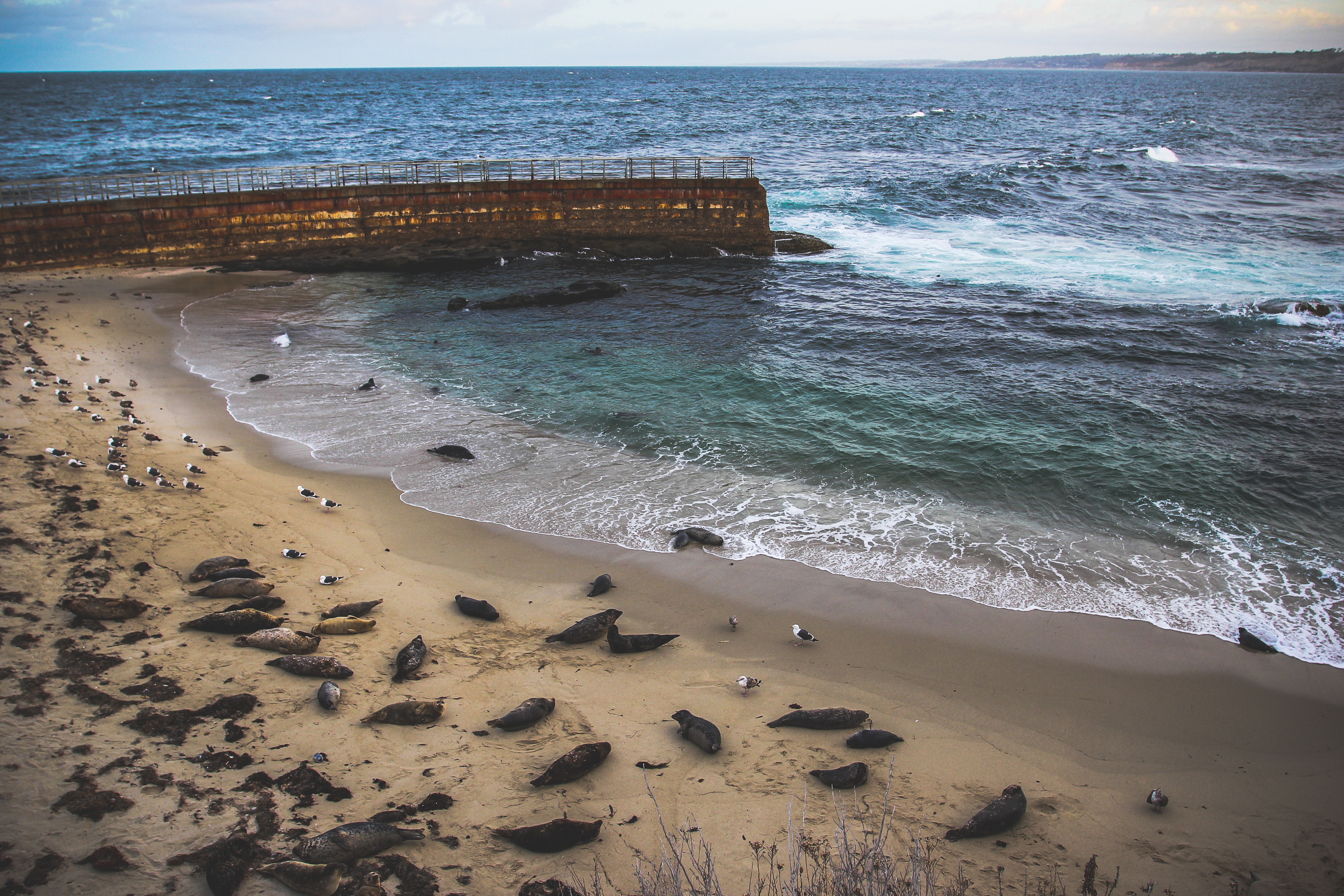 Harbor Seals Lounging at La Jolla Childrens Pool in San Diego