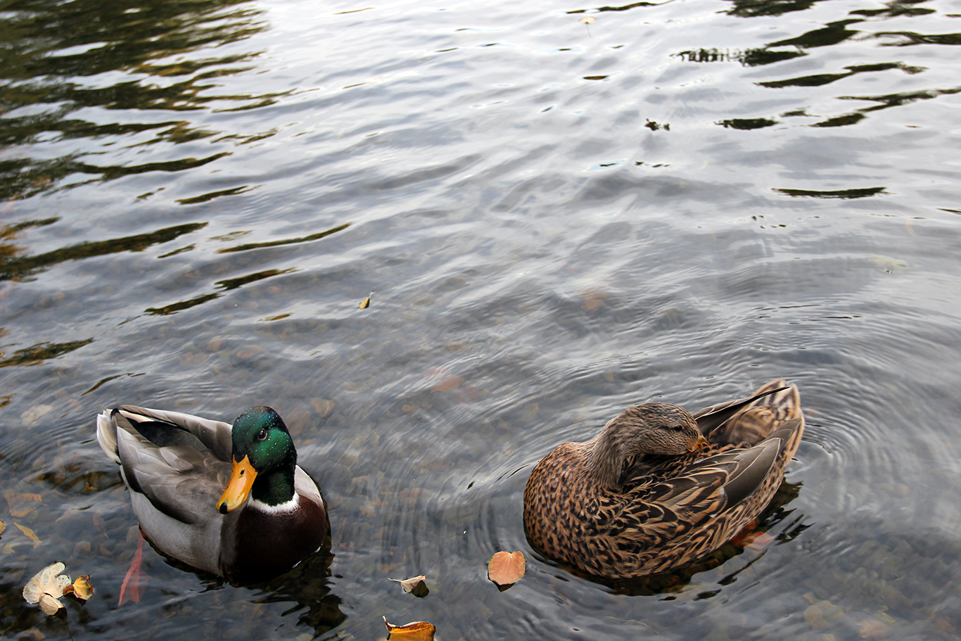 Ducks at Boston Common Pond