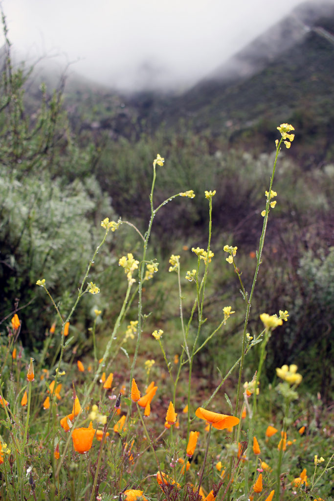 Wildflowers in the mist on the Blue Sky Reserve hike to Ramona Dam in San Diego