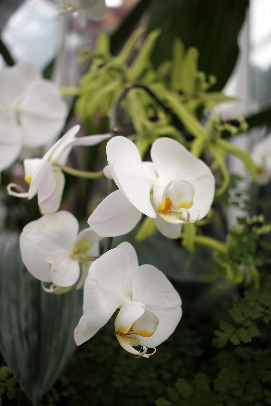 White Orchid at Volunteer Park Conservatory in Seattle