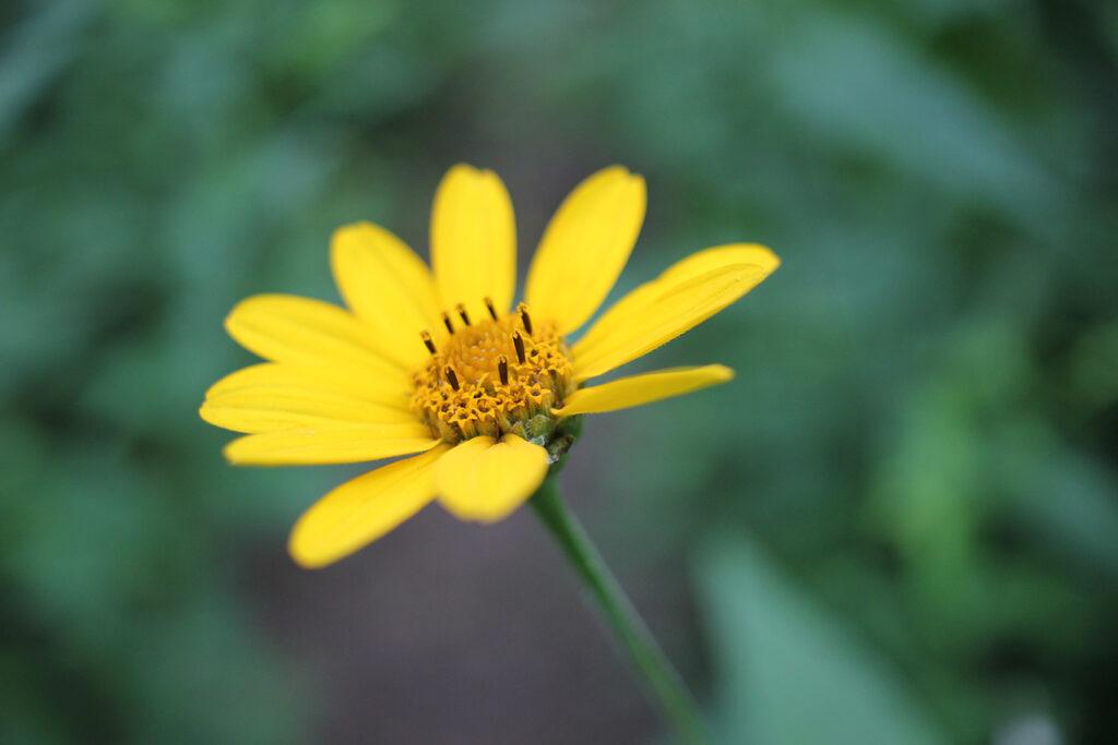 Wildflowers at White Rock Mountain, Arkansas
