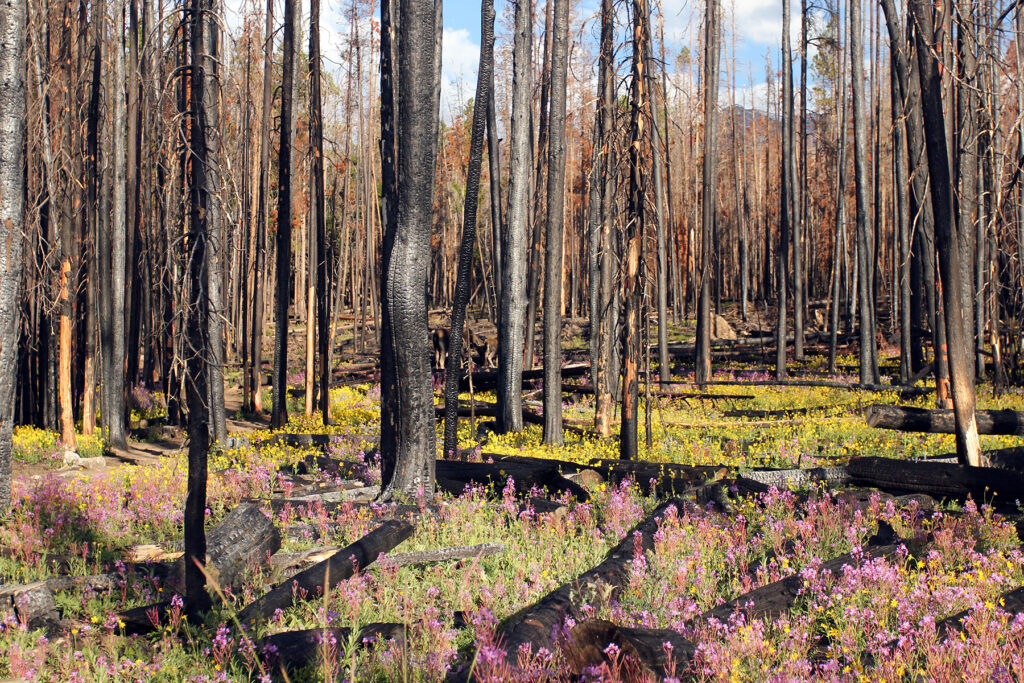 Burned Trees & Wildflowers Buffalo Mountain Colorado