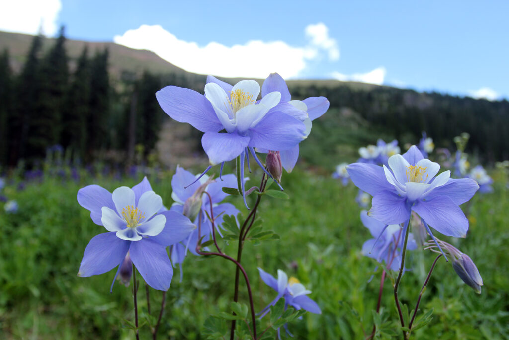 Purple & White Wildflowers on Herman Gulch Hike in Colorado