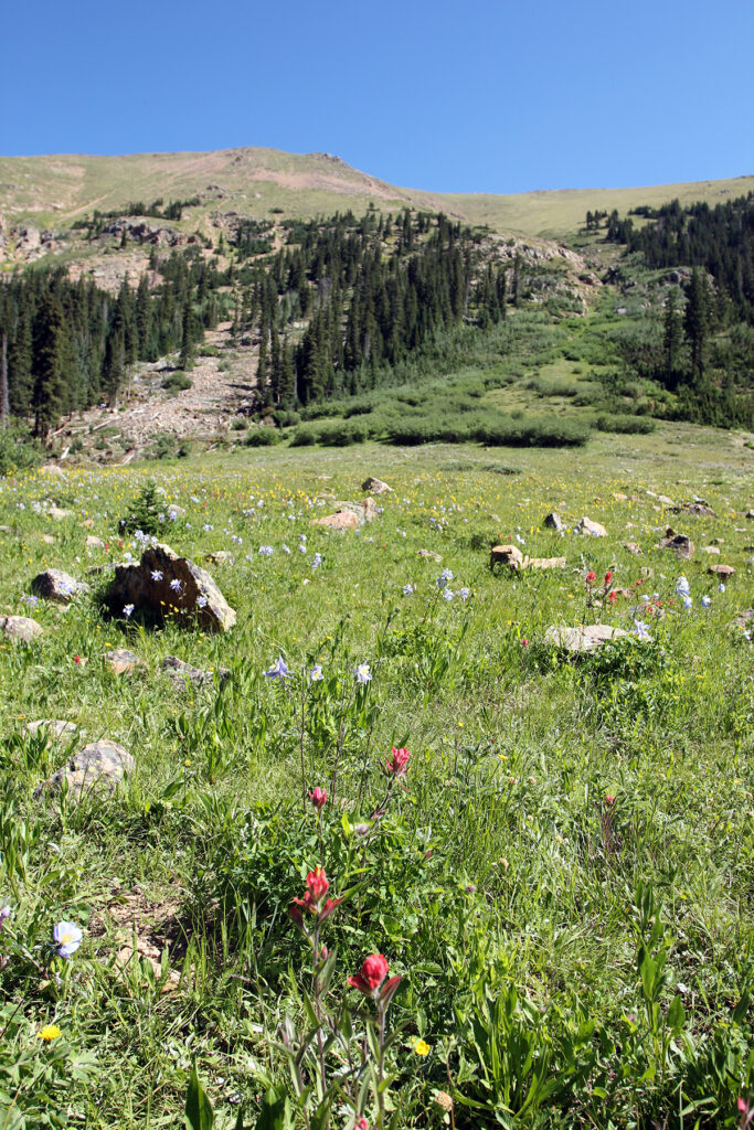Sub-Alpine Wildflowers on Herman Gulch Hiking Trail