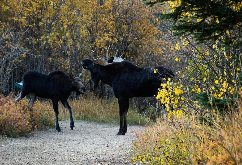 Female & Male Shiras Moose During Rut Season in Colorado