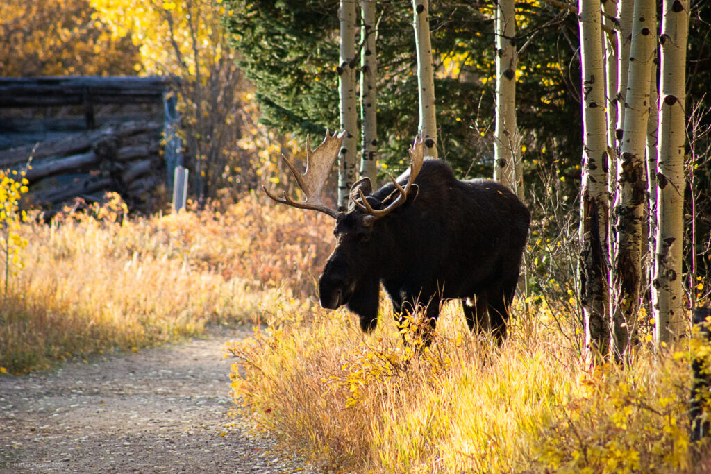 Male Bull Moose in Rut Season at Golden Gate Canyon State Park in Colorado