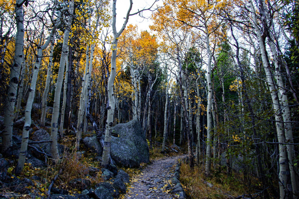 Autumn Aspens on Trail in Rocky Mountain National Park