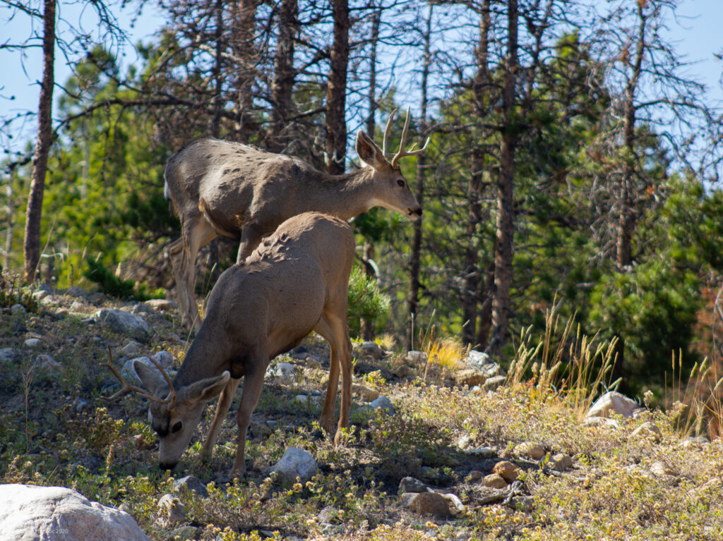 Mule Deer at RMNP in Colorado