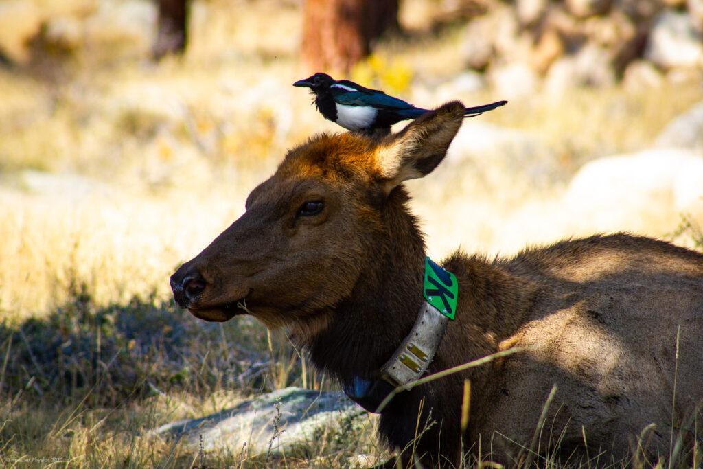 Female Elk Cow at RMNP, Colorado