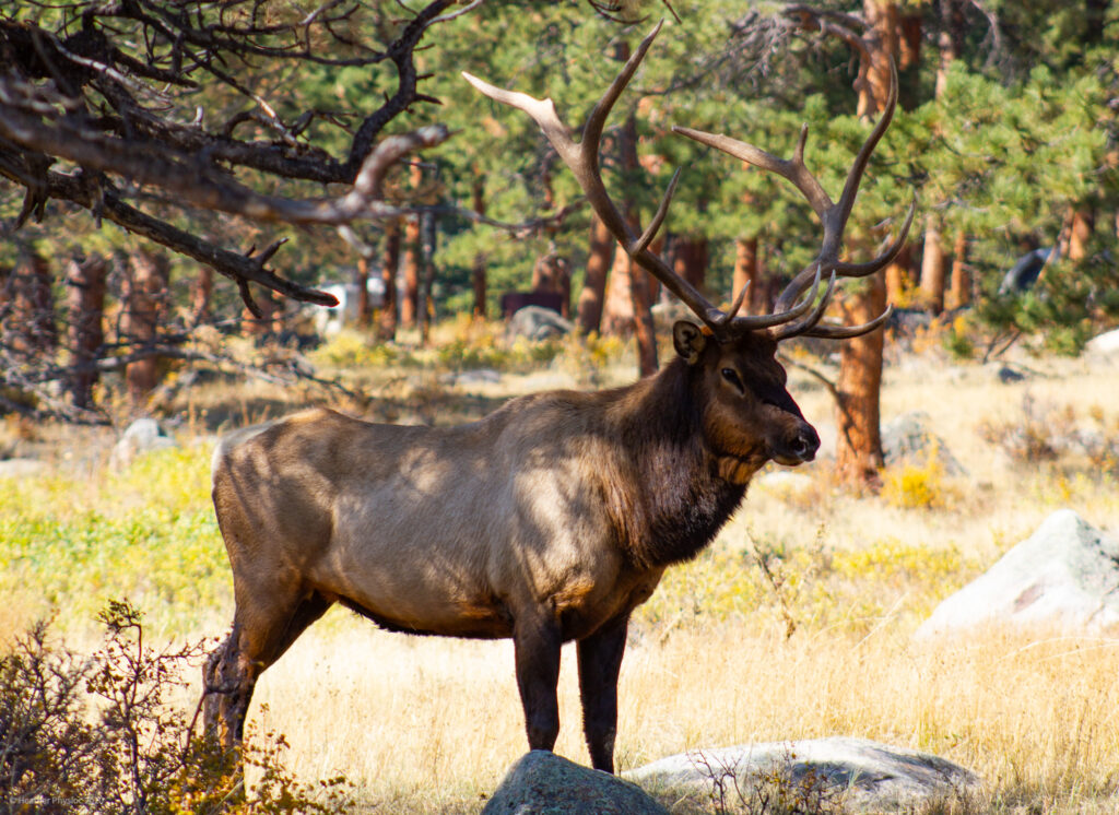 Male Elk Bull at Rocky Mountain National Park