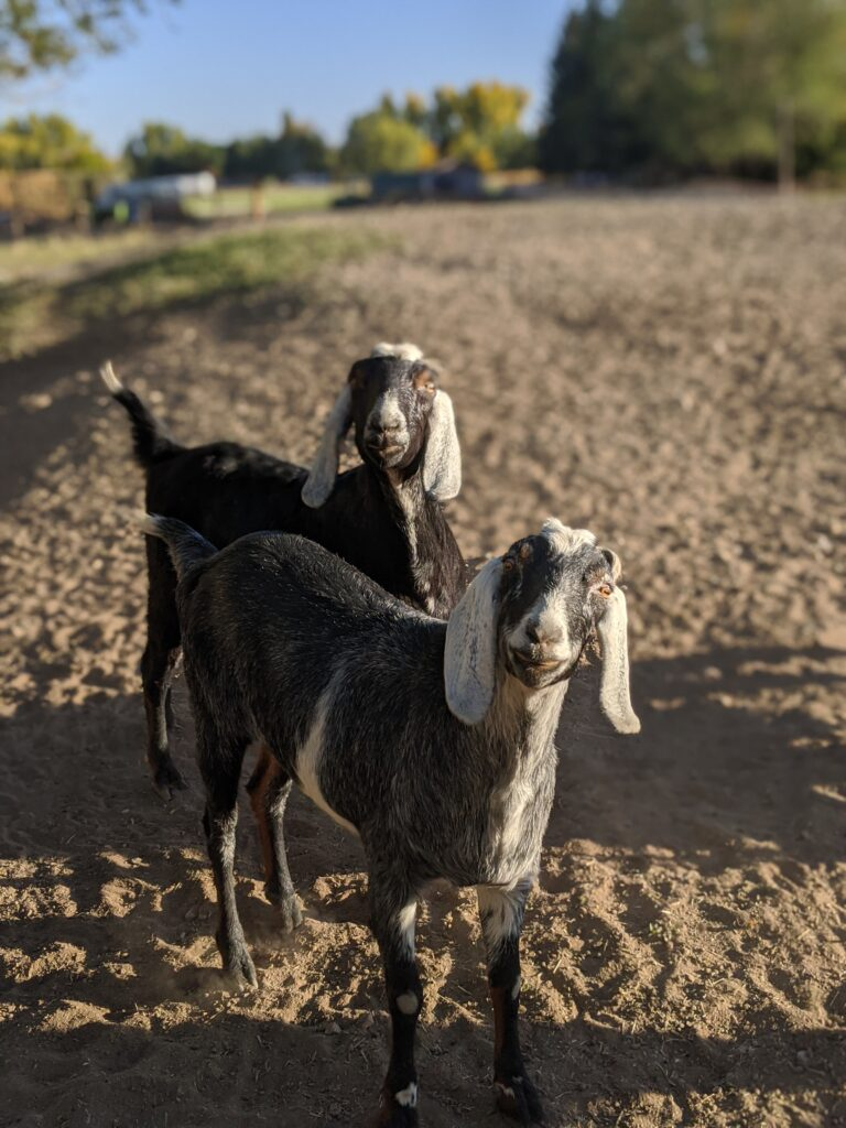 Goats at Yellow Cottage in Montrose, Colorado
