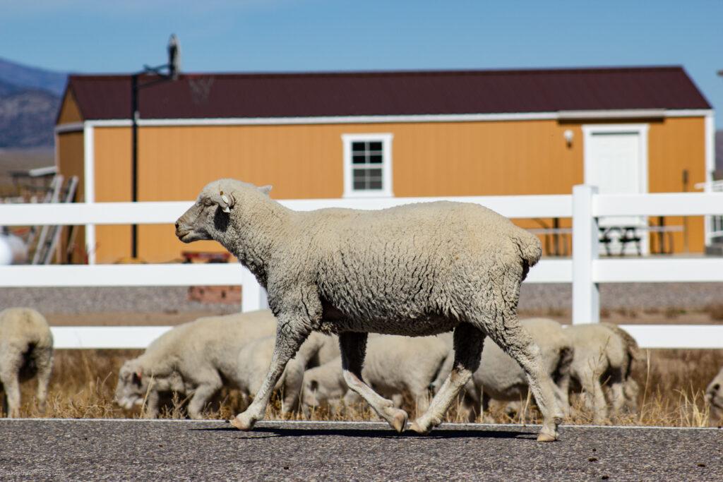Sheep in Antimony, Utah