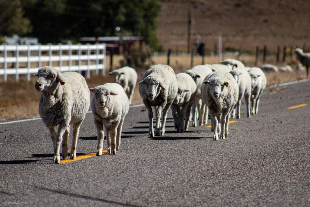 Flock of Sheep Herding on a Road in Antimony, Utah