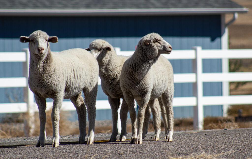 Trio of Sheep in Antimony, Utah
