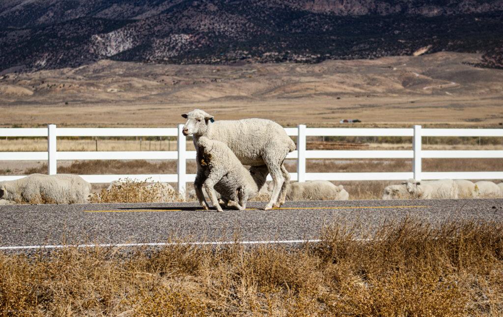 Ewe & Lamb Nursing During Sheep Flock Migration in Antimony, Utah