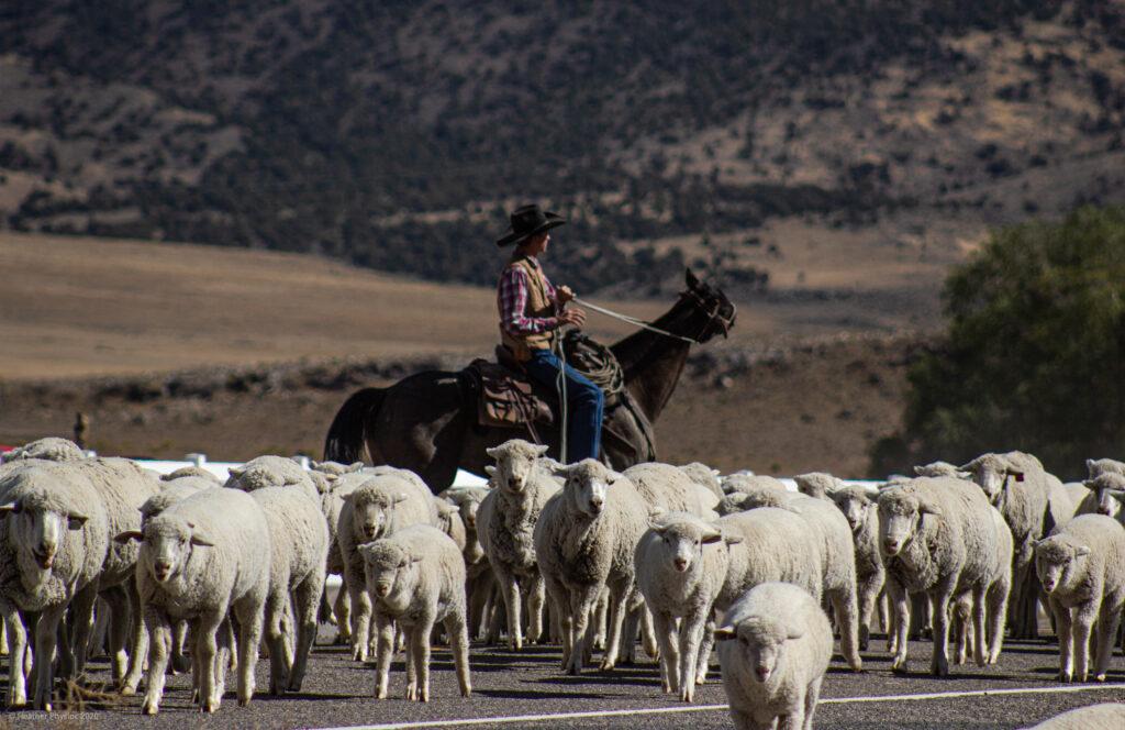 Cowboy Herding Sheep in Antimony, Utah