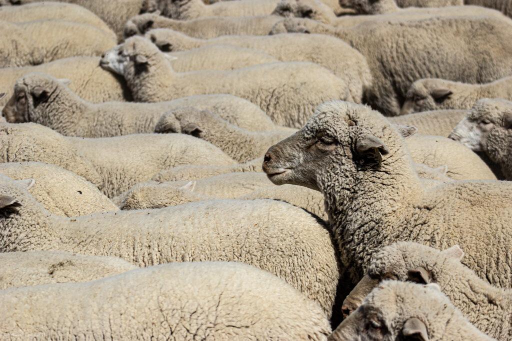 Flock of Sheep in Antimony, Utah