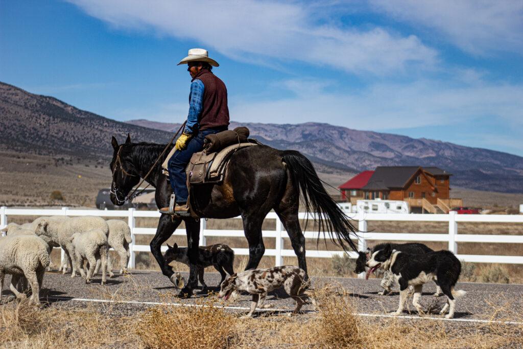 Cowboys & Dogs Herding Sheep in Antimony, Utah
