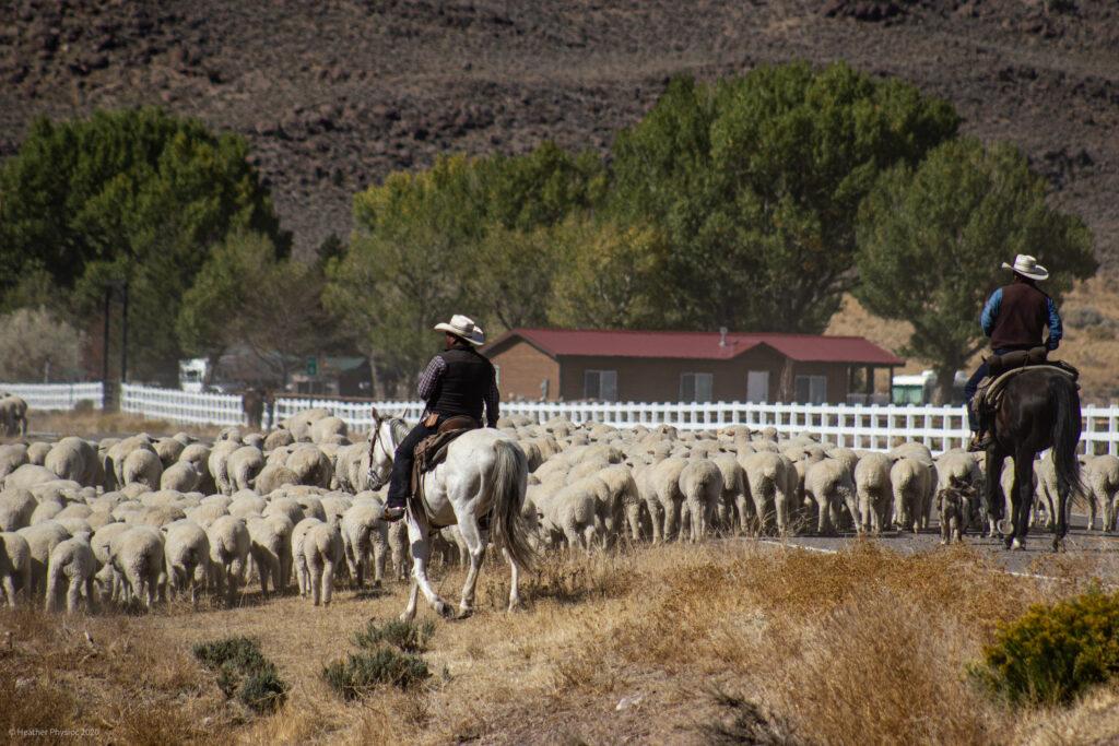 Cowboys Herding Sheep in Antimony, Utah