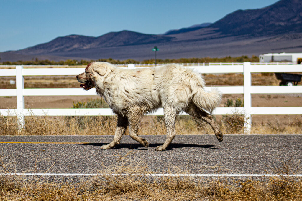 Sheep Herding Dog in Antimony, Utah