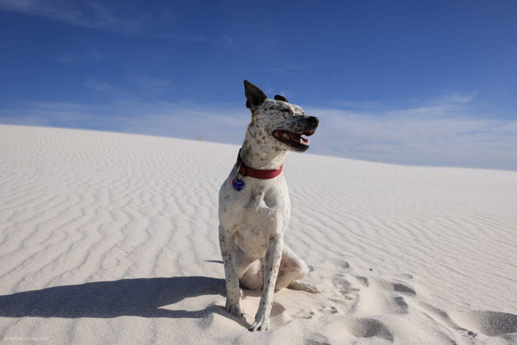 Poppy Australian Cattle Dog Mix on a Sand Dune at White Sands National Park in New Mexico