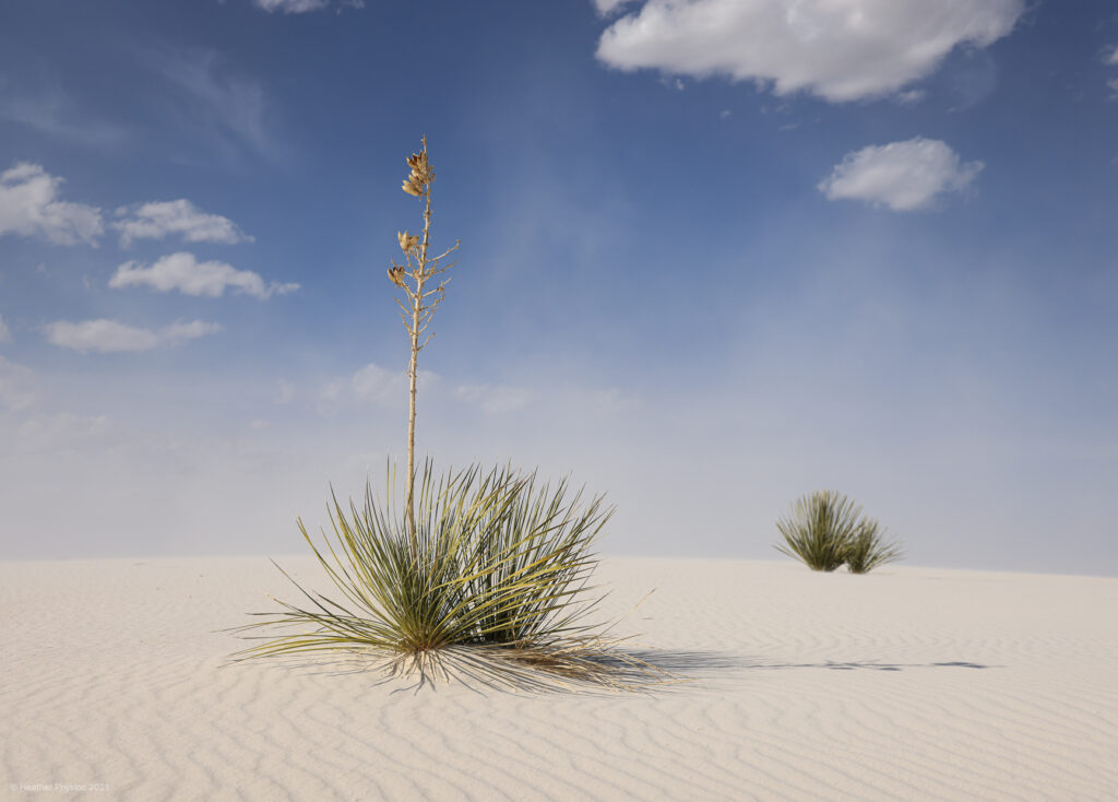 Soaptree Yucca & Grasses at White Sands National Park in New Mexico
