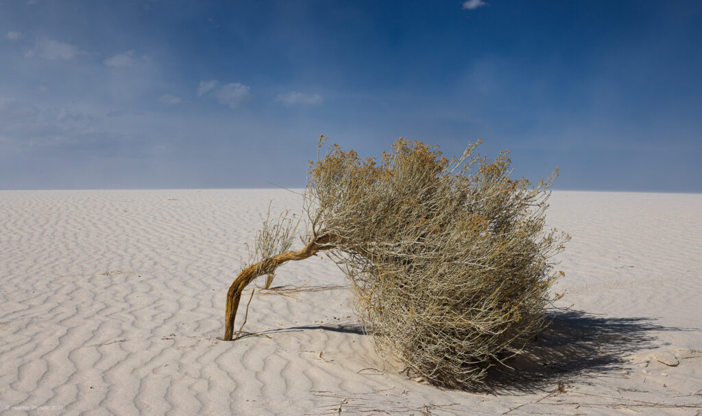 Windswept Brush at White Sands National Park in New Mexico