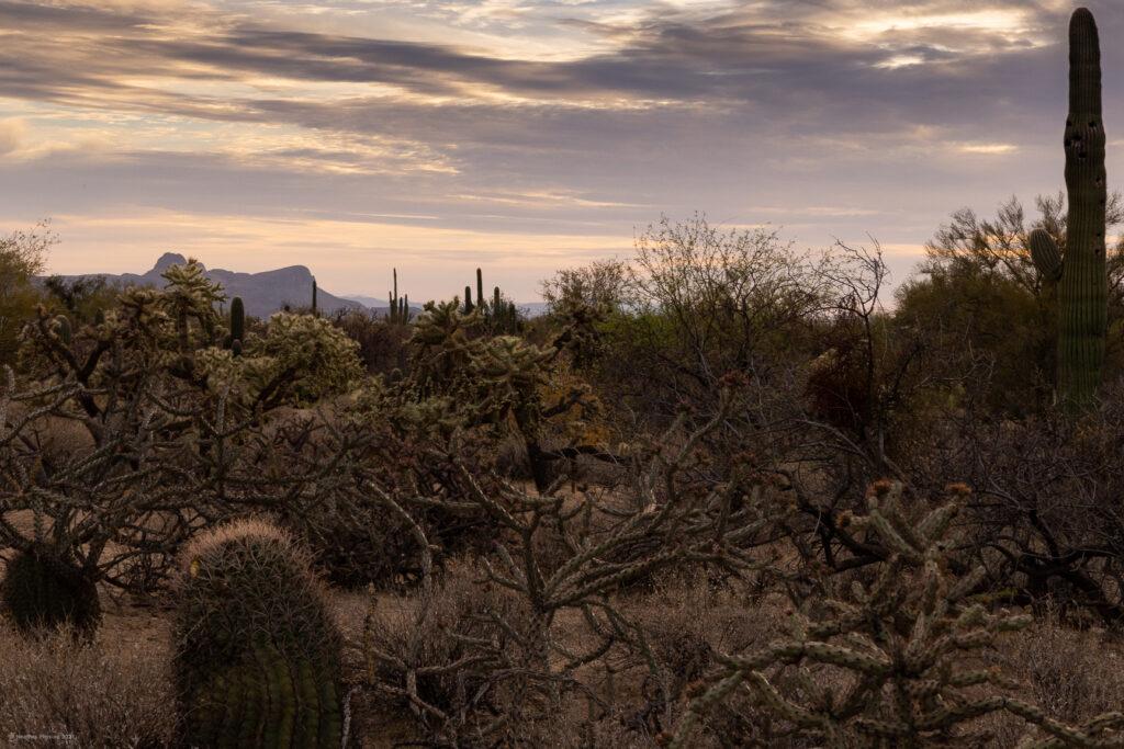 Many Cactus Varieties of Sonoran Desert in Arizona