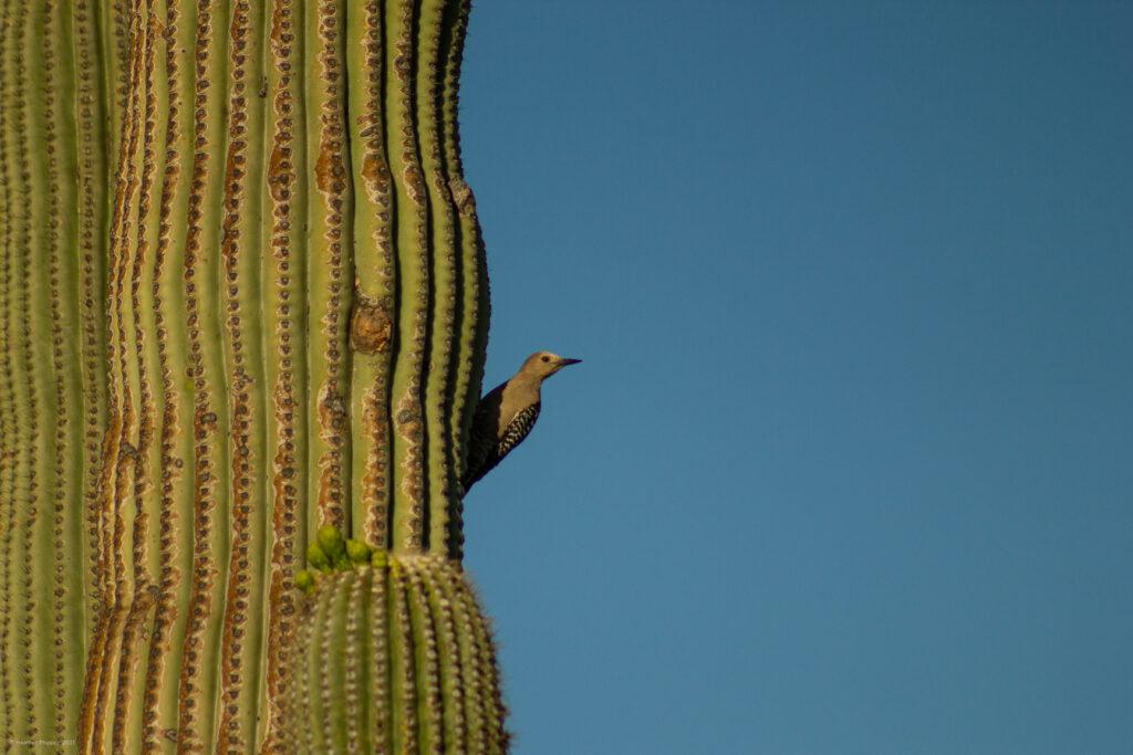 Female Gila Woodpecker Perched on Saguaro Cactus in Sonoran Desert, Arizona at Sunrise