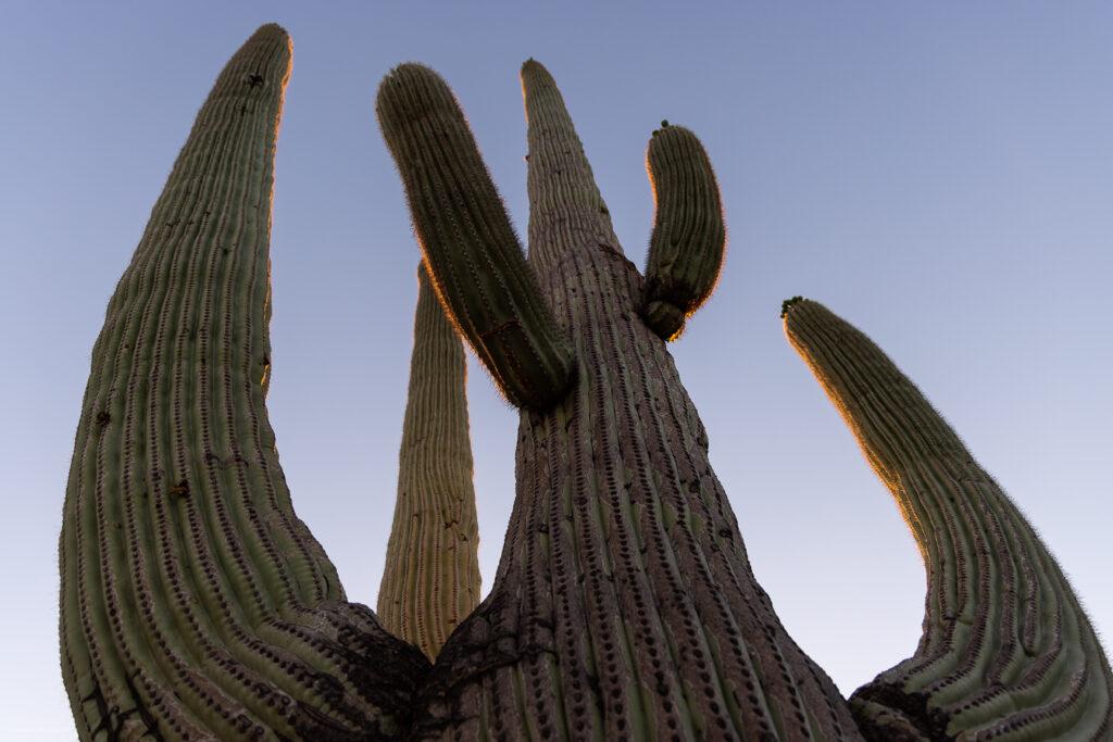 Giant Saguaro Cactus Arms in Sonoran Desert, Tucson, Arizona