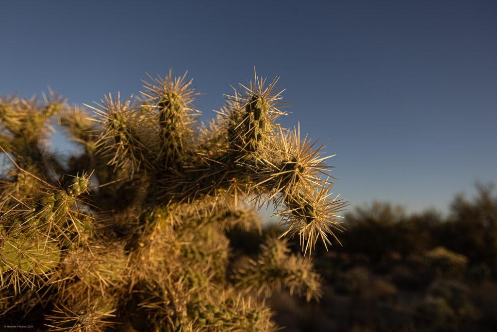 Jumping Cholla Cactus at Sunset in Sonoran Desert, Oro Valley, Arizona