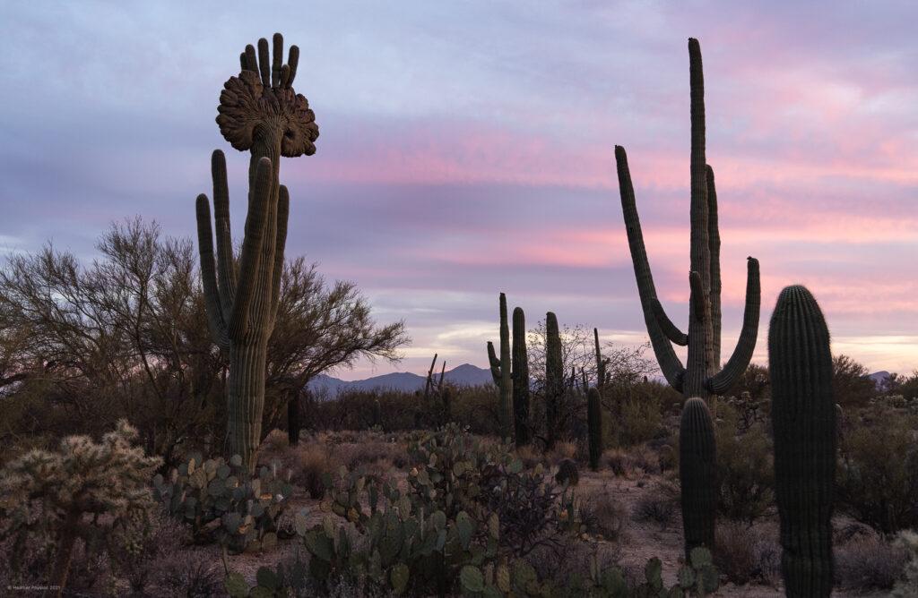 Crested Saguaro Prickly Pear & Cholla Cactus at Sunset in Sonoran Desert Arizona