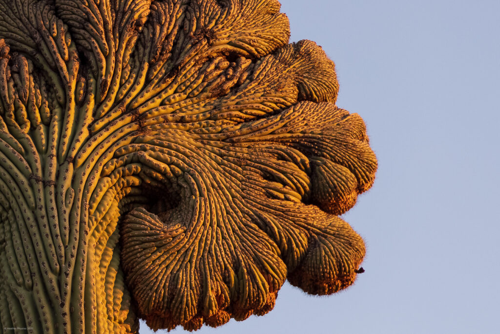 Rare Cristate Saguaro Crest at Sunrise in Sonoran Desert, Arizona