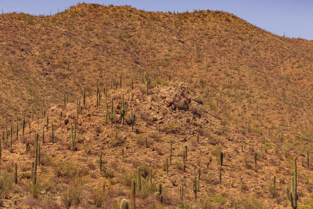 Vast Cactus Forest on Hills at Saguaro National Park in Tucson, Arizona