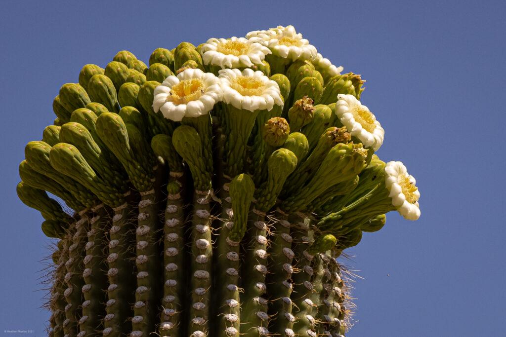 White & Yellow Spring Saguaro Cactus Blossoms in Sonoran Desert, Arizona