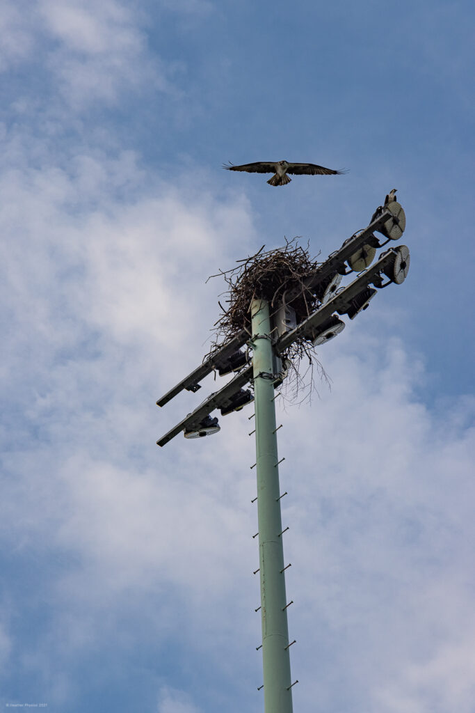 Nesting Osprey Couple Atop Field Lights on the United States Naval Academy Yard in Annapolis, Maryland